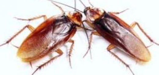 cucaracha-americana